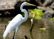 Great Egret. Credit: ISA/Michael Tweddle