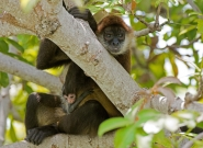 Nicaraguan Spider Monkeys. Credit: ISA/Michael Tweddle